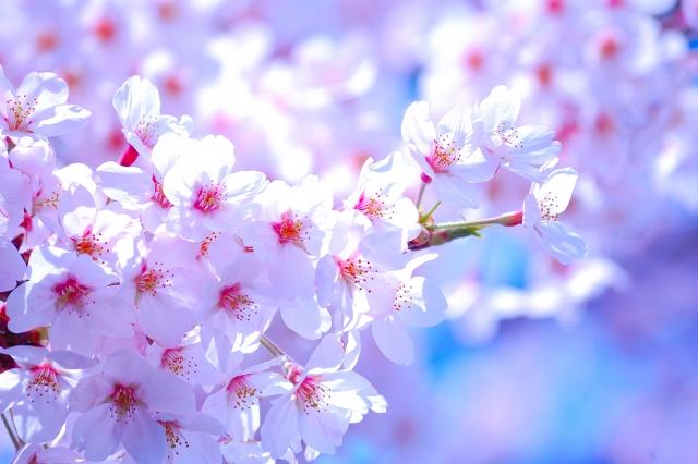 【国が選んだ】京都の桜の名所4つ【日本さくら名所100選】