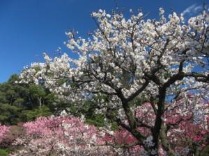 北海道の梅の名所