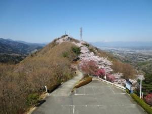 牛伏山千本桜