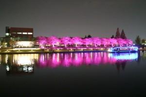 富岩運河桜
