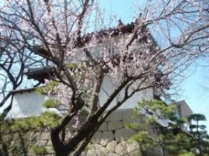 高崎城址公園桜