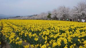 岩井親水公園桜