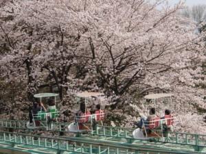 桐生が岡公園桜