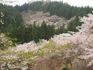 森林公園さくらの里桜