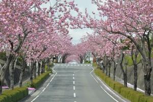熊倉神宮桜まつり