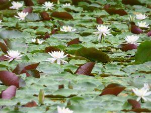 神戸市立森林植物園の蓮