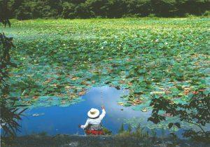 平筒沼の蓮