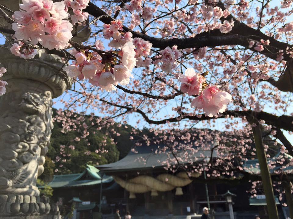 宮地嶽神社桜