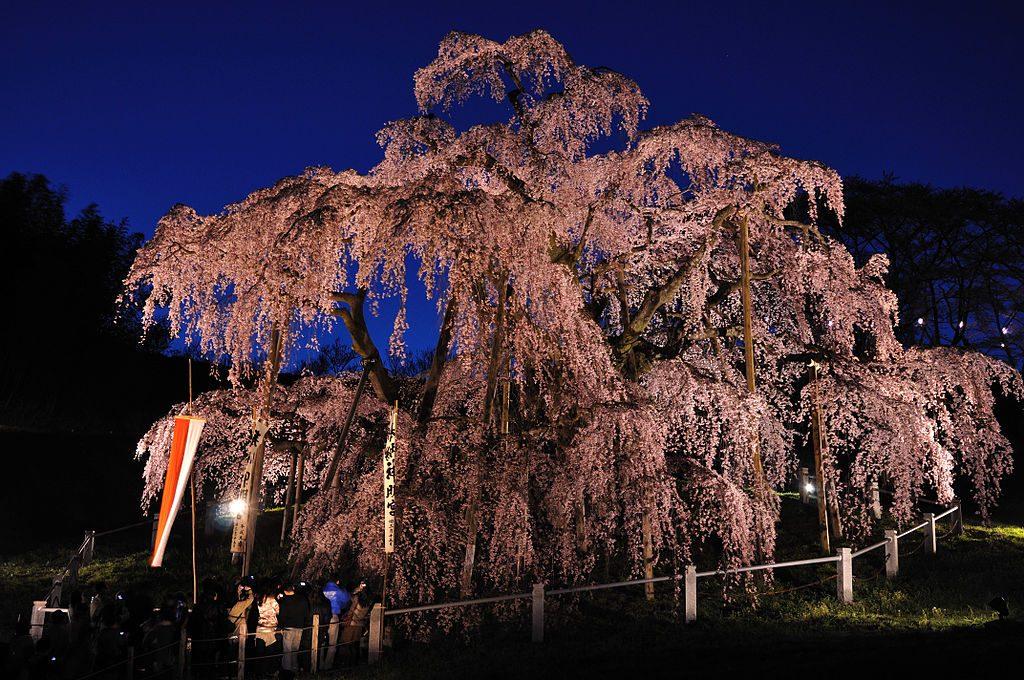 三春滝ザクラ