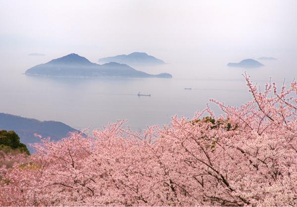 紫雲出山桜