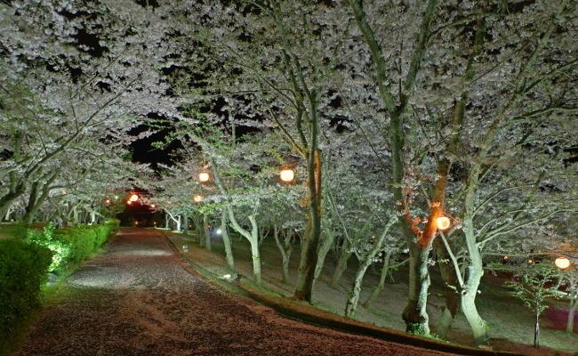 ときわ公園桜