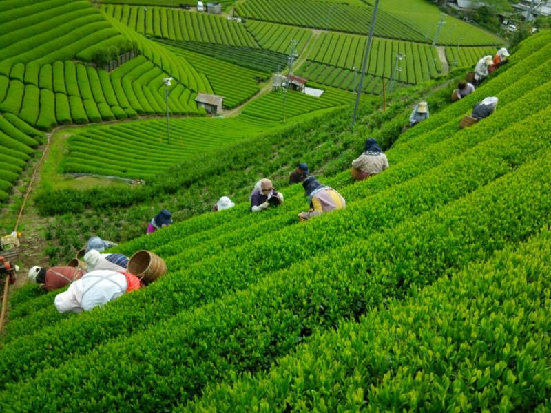森内茶農園茶摘み