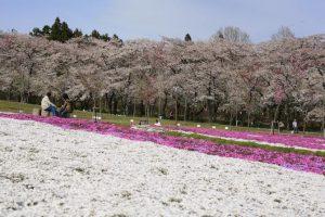 赤城南面千本桜芝桜