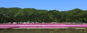 乾側地区芝桜