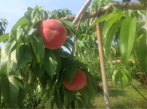 バイパス清果園桃