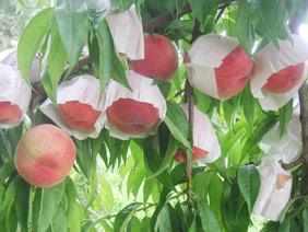 加々美果樹園桃