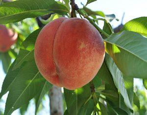 くぬぎ観光農園桃