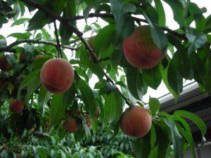 丸山フルーツ農園桃