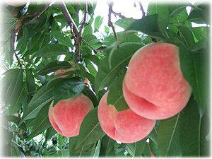 くぼた園桃