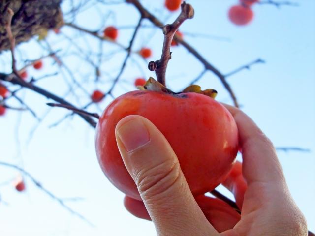 柿もぎとり体験