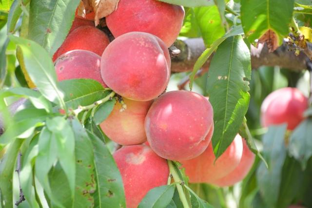 東北で楽しむ桃の収穫体験